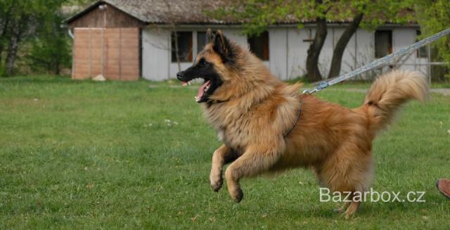 Belgický ovčák - štěňata - bazar  ed00ab409a4