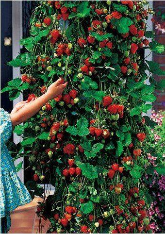 Popínavé jahody