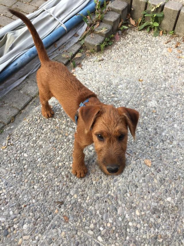 7ee7f210348 Prodám štěně irského teriéra s PP - bazar